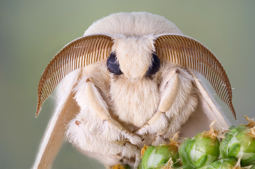 Silk moth portrait. White fur and large antennas.